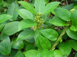 Gymnema sylvestre es una planta con efectos supresores del apetito
